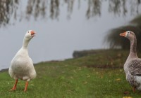 Gossiping Geese